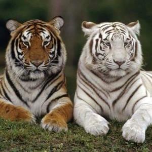 Hổ Bengal