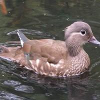 Chim uyên ương