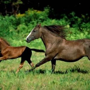 Ngựa nhà